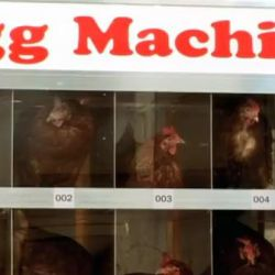 Maszyna broniąca praw kur