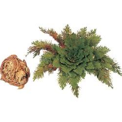 Nieśmiertelna roślinka